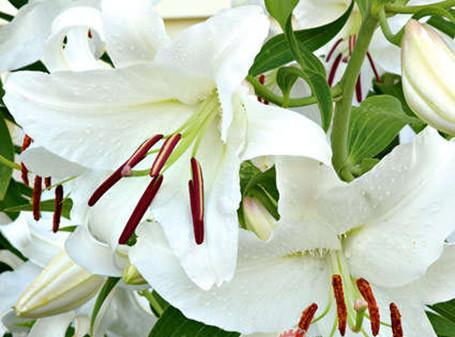 摩羯座女的花与爱情