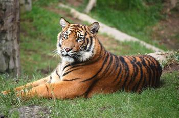 梦见老虎围着家